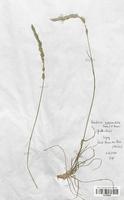 https://bibliotheque-virtuelle.bu.uca.fr/files/fichiers_bcu/Poaceae_Koeleria_pyramidata_CLF120339.jpg
