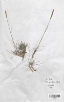 https://bibliotheque-virtuelle.bu.uca.fr/files/fichiers_bcu/Poaceae_Koeleria_vallesiana_CLF120422.jpg