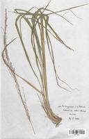https://bibliotheque-virtuelle.bu.uca.fr/files/fichiers_bcu/Poaceae_Molinia_arundinacea_CLF120424.jpg