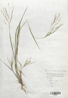 https://bibliotheque-virtuelle.bu.uca.fr/files/fichiers_bcu/Poaceae_Paspalum_distichum_CLF120283.jpg