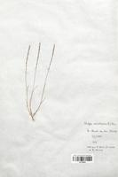 https://bibliotheque-virtuelle.bu.uca.fr/files/fichiers_bcu/Poaceae_Vulpia_unilateralis_CLF120301.jpg