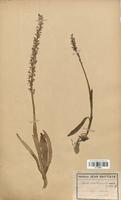 https://bibliotheque-virtuelle.bu.uca.fr/files/fichiers_bcu/Orchidaceae_Aceras_anthropophorum_CLF120632.jpg