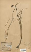https://bibliotheque-virtuelle.bu.uca.fr/files/fichiers_bcu/Alliaceae_Allium_acutangulum_CLF120595.jpg