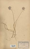 https://bibliotheque-virtuelle.bu.uca.fr/files/fichiers_bcu/Alliaceae_Allium_schoenoprasum_CLF120594.jpg