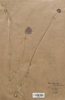 https://bibliotheque-virtuelle.bu.uca.fr/files/fichiers_bcu/Alliaceae_Allium_sphaerocephalon_CLF120592.jpg