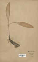 https://bibliotheque-virtuelle.bu.uca.fr/files/fichiers_bcu/Alliaceae_Allium_victorialis_CLF120593.jpg