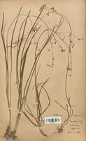 https://bibliotheque-virtuelle.bu.uca.fr/files/fichiers_bcu/Liliaceae_Anthericum_ramosum_CLF120553.jpg