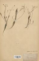 https://bibliotheque-virtuelle.bu.uca.fr/files/fichiers_bcu/Alismataceae_Baldellia_ranunculoides_CLF120506.jpg