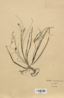 https://bibliotheque-virtuelle.bu.uca.fr/files/fichiers_bcu/Alismataceae_Baldellia_ranunculoides_CLF120514.jpg
