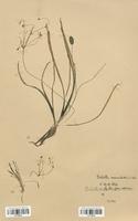 https://bibliotheque-virtuelle.bu.uca.fr/files/fichiers_bcu/Alismataceae_Baldellia_ranunculoides_CLF120518.jpg