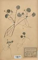 https://bibliotheque-virtuelle.bu.uca.fr/files/fichiers_bcu/Alismataceae_Baldellia_ranunculoides_CLF120519.jpg