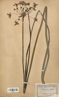 https://bibliotheque-virtuelle.bu.uca.fr/files/fichiers_bcu/Butomaceae_Butomus_umbellatus_CLF120511.jpg