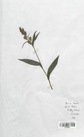 https://bibliotheque-virtuelle.bu.uca.fr/files/fichiers_bcu/Orchidaceae_Cephalanthera_damasonium_CLF120637.jpg