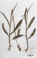 https://bibliotheque-virtuelle.bu.uca.fr/files/fichiers_bcu/Orchidaceae_Dactylorhiza_maculata_elodes_CLF120636.jpg