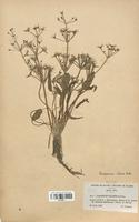 https://bibliotheque-virtuelle.bu.uca.fr/files/fichiers_bcu/Alismataceae_Damasonium_stellatum_CLF120517.jpg