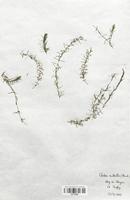 https://bibliotheque-virtuelle.bu.uca.fr/files/fichiers_bcu/Hydrocharitaceae_Elodea_nuttallii_CLF120524.jpg