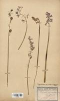 https://bibliotheque-virtuelle.bu.uca.fr/files/fichiers_bcu/Liliaceae_Endymion_non_scriptum_CLF120567.jpg