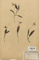 https://bibliotheque-virtuelle.bu.uca.fr/files/fichiers_bcu/Liliaceae_Erythronium_dens-canis_CLF120550.jpg