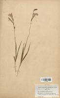 https://bibliotheque-virtuelle.bu.uca.fr/files/fichiers_bcu/Iridaceae_Gladiolus_illyricus_CLF120586.jpg
