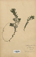 https://bibliotheque-virtuelle.bu.uca.fr/files/fichiers_bcu/Potamogetonaceae_Groenlandia_densa_CLF120490.jpg