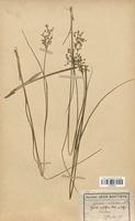 https://bibliotheque-virtuelle.bu.uca.fr/files/fichiers_bcu/Juncaceae_Juncus_acutiflorus_CLF120701.jpg