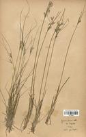 https://bibliotheque-virtuelle.bu.uca.fr/files/fichiers_bcu/Juncaceae_Juncus_tenuis_CLF120698.jpg