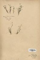 https://bibliotheque-virtuelle.bu.uca.fr/files/fichiers_bcu/Juncaceae_Juncus_mutabilis_CLF120696.jpg