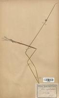 https://bibliotheque-virtuelle.bu.uca.fr/files/fichiers_bcu/Juncaceae_Juncus_conglomeratus_CLF120692.jpg