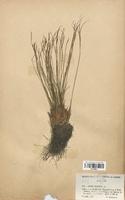 https://bibliotheque-virtuelle.bu.uca.fr/files/fichiers_bcu/Juncaceae_Juncus_trifidus_CLF120691.jpg