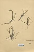 https://bibliotheque-virtuelle.bu.uca.fr/files/fichiers_bcu/Alismataceae_Luronium_natans_CLF120515.jpg