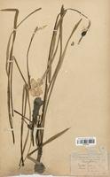 https://bibliotheque-virtuelle.bu.uca.fr/files/fichiers_bcu/Amaryllidaceae_Narcissus_poeticus_CLF120590.jpg