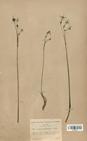https://bibliotheque-virtuelle.bu.uca.fr/files/fichiers_bcu/Amaryllidaceae_Narcissus_viridiflorus_CLF120588.jpg