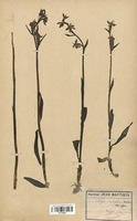 https://bibliotheque-virtuelle.bu.uca.fr/files/fichiers_bcu/Orchidaceae_Ophrys_apifera_CLF120642.jpg