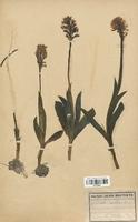 https://bibliotheque-virtuelle.bu.uca.fr/files/fichiers_bcu/Orchidaceae_Orchis_militaris_CLF120641.jpg