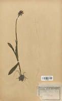 https://bibliotheque-virtuelle.bu.uca.fr/files/fichiers_bcu/Orchidaceae_Orchis_simia_CLF120640.jpg