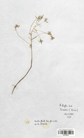 https://bibliotheque-virtuelle.bu.uca.fr/files/fichiers_bcu/Liliaceae_Ornithogalum_divergens_CLF120548.jpg