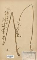https://bibliotheque-virtuelle.bu.uca.fr/files/fichiers_bcu/Liliaceae_Ornithogalum_pyrenaicum_CLF120569.jpg