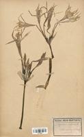https://bibliotheque-virtuelle.bu.uca.fr/files/fichiers_bcu/Amaryllidaceae_Pancratium_maritimum_CLF120589.jpg