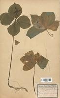 https://bibliotheque-virtuelle.bu.uca.fr/files/fichiers_bcu/Liliaceae_Paris_quadrifolia_CLF120573.jpg