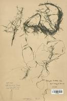 https://bibliotheque-virtuelle.bu.uca.fr/files/fichiers_bcu/Potamogetonaceae_Potamogeton_berchtoldii_CLF120497.jpg