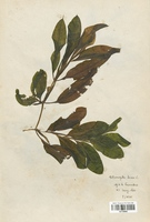 https://bibliotheque-virtuelle.bu.uca.fr/files/fichiers_bcu/Potamogetonaceae_Potamogeton_lucens_CLF120502.jpg