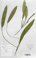 https://bibliotheque-virtuelle.bu.uca.fr/files/fichiers_bcu/Potamogetonaceae_Potamogeton_lucens_x_nodosus_CLF120495.jpg