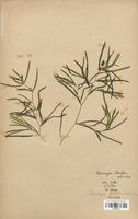 https://bibliotheque-virtuelle.bu.uca.fr/files/fichiers_bcu/Potamogetonaceae_Potamogeton_obtusifolius_CLF120471.jpg