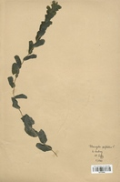 https://bibliotheque-virtuelle.bu.uca.fr/files/fichiers_bcu/Potamogetonaceae_Potamogeton_perfoliatus_CLF120465.jpg