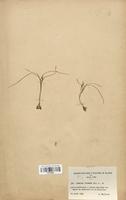 https://bibliotheque-virtuelle.bu.uca.fr/files/fichiers_bcu/Iridaceae_Romulea_columnae_CLF120604.jpg