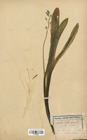 https://bibliotheque-virtuelle.bu.uca.fr/files/fichiers_bcu/Liliaceae_Scilla_liliohyacinthus_CLF120565.jpg