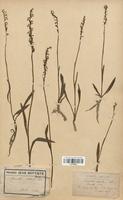 https://bibliotheque-virtuelle.bu.uca.fr/files/fichiers_bcu/Orchidaceae_Spiranthes_aestivalis_CLF120659.jpg