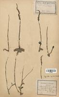 https://bibliotheque-virtuelle.bu.uca.fr/files/fichiers_bcu/Orchidaceae_Spiranthes_autumnalis_CLF120658.jpg