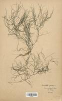 https://bibliotheque-virtuelle.bu.uca.fr/files/fichiers_bcu/Zannichelliaceae_Zannichellia_palustris_CLF120531.jpg