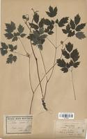 https://bibliotheque-virtuelle.bu.uca.fr/files/fichiers_bcu/Renonculaceae_Actaea_spicata_CLF120880.jpg